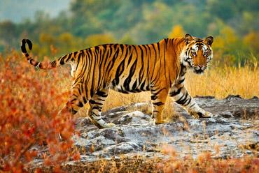 Taj Mahal and Tiger Tour