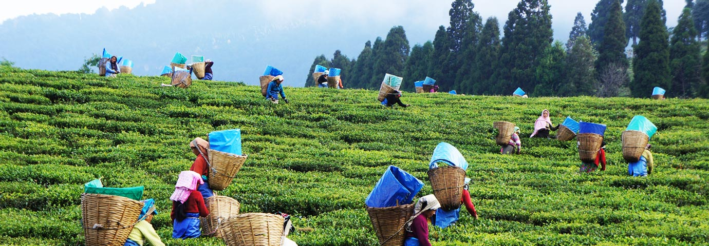 Happy Valley Tea Estate Darjeeling