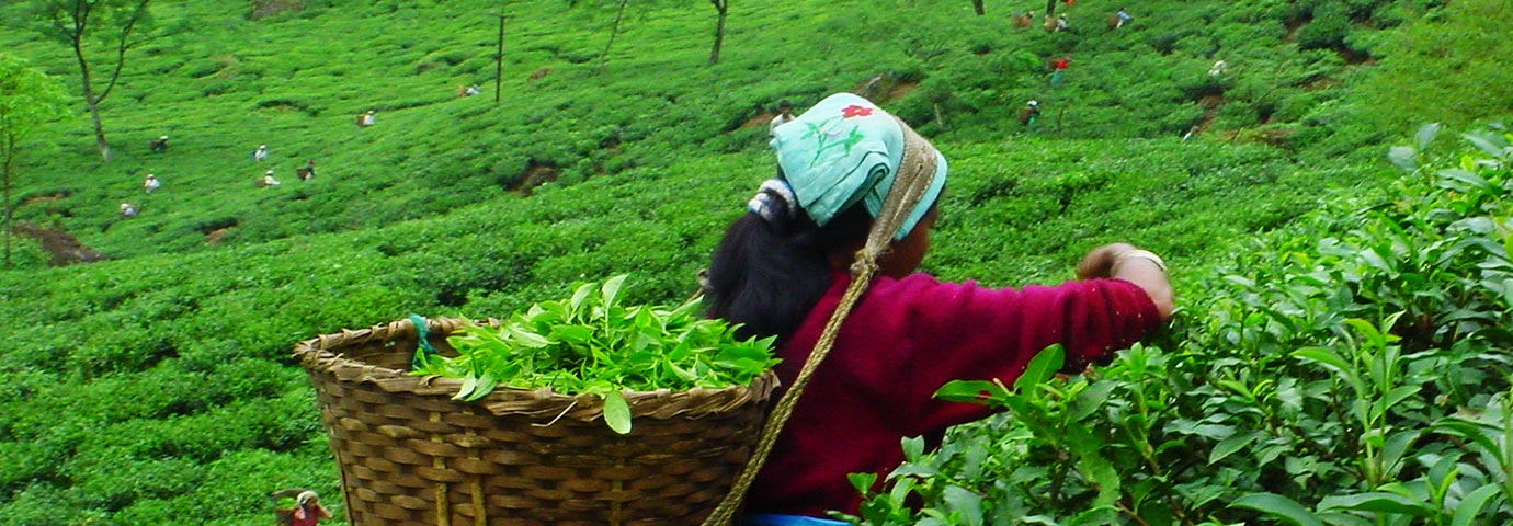 Nilgiri Tea Plantations
