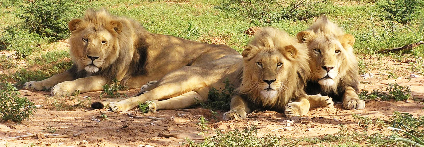 Sasan Gir Lion Sanctuary